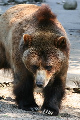 Grizzly - Taking it Easy (DP Photography) Tags: bear park city trip travel flowers trees winter light sunset sea summer vacation sky people urban usa baby india house lake holiday snow canada black mountains color macro tree cute bird art nature animal animals rock fauna architecture kids night clouds canon garden landscape island photography zoo photo spring tour photos bronxzoo grizzly orissa canonef70200mmf40lusm debasis ef70200mmf40l debasish debashish debashispradhan dpphotography odisha canon70200mmf4lusmnonis canonef70200mmf40lnonis dp photography
