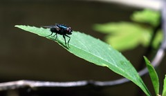 IMG_3049.JPG (kmiche) Tags: green insect fly leaf sigma70300mmmacro insectonleaf