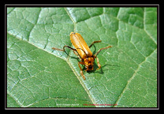Terrible Insect (amirhosseinakbari) Tags: orange green insect leaf surface