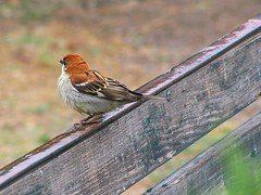 Rain and a russet sparrow