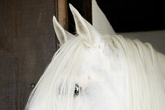 Take the hair off of my eyes!!! (Carla Robalo Martins) Tags: horse white portugal animals wow eyes olhos click cavalo beja wonderfulworld crina photocolor beautifulshot artistslounge perfectcomposition beautifulcapture natureplus crine ovibeja thebeautyofnature anawesomeshot wowphoto artandphotography nationalgeographicareyougoodenough animalimages citrit worldclassimage naturephotoshp prettynaturephotos wonderfulshots top20white wonderfulphotosfortheworld top20everlasting awesomepictureaward goldstaraward brilliantphotography olquebonito gnneniyisithebestofday photographersgonewild doubledragonawards elshowdelmacro naturegreenstar naturescreations artofimages oneofmypics amarobranco officialnationalgeographicgroup oprazerdefotografar addictedtonature awesomeshotsaward whitecreatures asbeautifulasyouwant animalsartgallery arkiesnaturegroup sperfotografasenmacros wooooowgroup dagmarsanimalfarm friendsplayground startcafe
