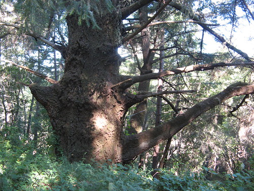 Immense Douglas-fir