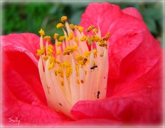 Camelia with added attraction Ants... (sallysue007) Tags: pink macro nature ants camelia naturesfinest supershot fantasticflower masterphotos abigfave macroaward flickrsfantasticflowers cherryonthetop dragongold