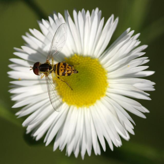 Hoverfly (Toxomerus geminatus)