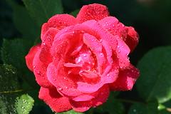 IMG_2216 (Tauchflodder) Tags: red summer flower rot water rose garden nice wasser sommer blume garten naturesfinest schn canoneos400d anawesomeshot