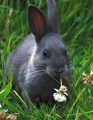 Grey Bunny (HDR Cafe) Tags: flower cute rabbit bunny green grass grey eating whiskers clover naturesfinest blueribbonwinner supershot specanimal afsvrzoomnikkor70300mmf4556gifed natureselegantshots vosplusbellesphotos