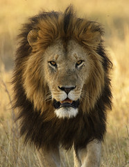 Notch of the Marsh Pride (Lyndon Firman) Tags: africa nature searchthebest kenya safari bbc notch outpost masaimara pantheraleo blueribbonwinner specanimal bigcatdiary bigcatweek marshpride bilashaka bfgreatesthits vosplusbellesphotos