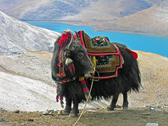 DSCN5809 (archer10 (Dennis)) Tags: china travel yak lake holiday nikon published tour buddha buddhist free tibet sacred dennis archer montains iamcanadian worldtravels dennisjarvis archer10 dennisgjarvis