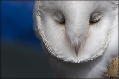 nap time (vcrimson) Tags: nottingham carnival england rescue beeston owls barnowl hootsowlsrescue