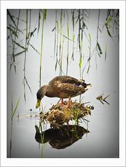 Lunchtime (scuba_dooba) Tags: uk duck mallard soe cambridgeshire fowlmere monopod 80400mm rspb blueribbonwinner diamondclassphotographer goldstaraward