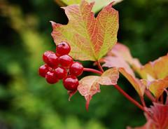 Red and shiny (©Komatoes) Tags: uk red rose lens berry nikon berries bokeh kitlens devon exeter kit d40 guelderrose guelder