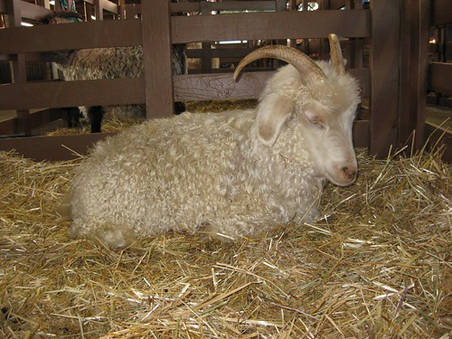 Curly Goat