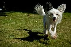 Free Teta (stinkerbell1) Tags: dog cute dogs smile happy fly interestingness explore teta chinesecrested happyfurryfriday interestingness245 explore15august2008