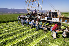 Celery (danlong) Tags: california workers packing farming machine salinas lettuce greens fields romain picking iceburg salinasvalley farmwork argiculture