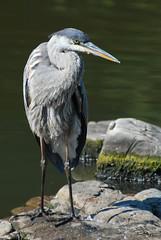 Great Blue Heron (Raph Nogal Photography   RAPHNOGAL.COM) Tags: park blue toronto ontario bird heron high nikon great tc 28 d200 nikkor f28 teleconverter 80200mm kenko 14x afd