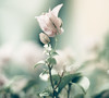 For Karen... (Lee_Bryan) Tags: pink green canon bokeh bougainvillea paperflower hbw ehbd