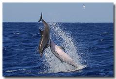 Stenella frontalis (PedroMadruga) Tags: ocean wild mammal wildlife d200 azores aores golfinho cetaceo cetacean tonina openocean toninha spotteddolphin pintadinha pedromadruga toninhamansa suldopico golfinhopintado bfgreatesthits goldstaraward