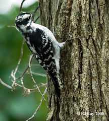 Female Downy Woodpecker - Picoides pubescens