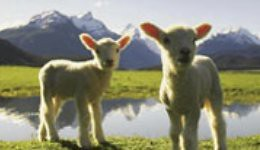 nz lambs