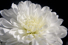 White Wonder (Theresa Elvin) Tags: white flower macro blackbackground chrysanthemum soe naturesfinest masterphotos mywinners abigfave platinumphoto impressedbeauty aplusphoto theunforgettablepictures betterthangood goldstaraward excellentsflowers natureselegantshots wonderfulworldofflowers damniwishidtakenthat