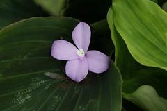 Kaempferia pulchra (Zingiberaceae)