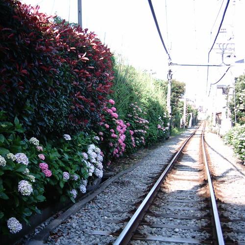 【写真】ミニデジ(MiniDigi)で撮影した、御霊神社側の江ノ電線路際に咲く紫陽花たち