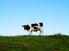 Mooooo!!! (Gordy Glen) Tags: animals scotland farming views farms platinumheartawards