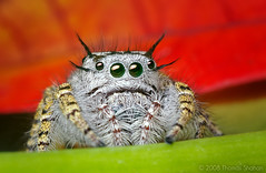Adult Female Phidippus mystaceus Jumping Spider (Thomas Shahan) Tags: portrait macro face k vintage lens 50mm prime spider jumping eyes close asahi pentax takumar zoom head arachnid flash small tubes extension reversed dslr ist vivitar softbox dl diffuser opo arachnology arthropod macrophotography bayonet salticid phidippus thyristor specanimal specanimalphotooftheday terser colorphotoaward mystaceus entomolgy macrolife justpentax onephotoweeklycontest vosplusbellesphotos