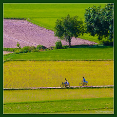 going home (TA.D) Tags: tree green field bike landscape nikon rice country vietnam d300 aplusphoto platinumheartawards earthasia