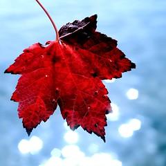 chasing beauty (Maureen F.) Tags: life thanksgiving autumn red canada fall nature water beauty leaf maple bravo bokeh muskoka naturesfinest mywinners symbolofcanada platinumheartaward onourflag lakemuskokabokeh