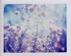 Dream (~KIM~) Tags: plant nature polaroid 100 expired 1107 automatic100 iduv auto100