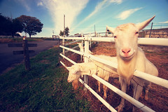 Its been so long since I had a smile. (Mayu) Tags: japan farm wideangle explore goats gifu ena sigma1020mm   nikond40