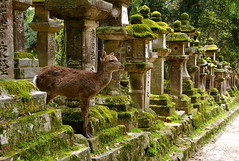El crvol s de veritat! / The deer is real! (SBA73) Tags: light verde green luz lamp japan japanese shrine path perspective deer nippon lampara nara shinto kansai soe toro nihon jap verd llum ciervo santuario sika kasuga japn kasugataisha shintoism   tooroo santuari  llantia anawesomeshot crvol 100commentgroup