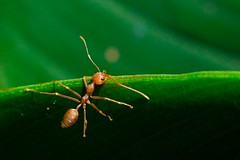 I'm spiderman (Jason Dinh Ba Thanh) Tags: macro photography leaf nikon singapore library ant spiderman micro d200 f28 105mm nikond200 grouplife vosplusbellesphotos ais105mmf28central