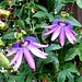 Photo: Passionflower 'amethyst'