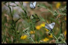 Pieride del biancospino (Aporia crataegi) (Sureglia) Tags: fauna farfalla pieride aporia crataegi sureglia
