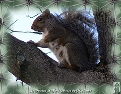 FBI: P2190187 SCOPING THINGS OUT (Frozen in Time photos by Marianne AWAY OFF/ON) Tags: nature squirrel squirrels critter critters webster animalplanet fbi unbearablycute friends~ framedphotos squirrelysplace thehappysquirrel flickrnature beautyintheeyeofthebeholder squirrelsgonewild nationalgeographicwannabes funnysquirrels faithfulflickrfriends flickrforeveryone squirrelspool rodentsrule favoritesbyinterestingness naturenolimits flickrmacroaward ilovesquirrels goldwildlife goldstaraward racoonsskunkssquirrels natureoutdoorlife ilovemypics photowatermarkframes webstersadventures mswebster easterngraysquirrels naturegreenstar squirrelawarenessweek awwwed~cuteadorablephotos checkoutthenewphotosofmswebster squirrelsunlimited thesquirreloramashootoutspectacular checkoutnewphotosofmswebster nationalgeographiswannabes