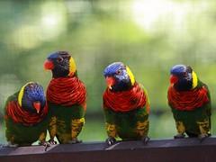 Rainbow Lorikeets (dSLRartist) Tags: bird canon rainbow 5d parrots lorikeets avian