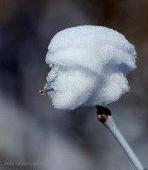 Hey dude, gotta light (lynne_b) Tags: winter snow nature face weird illinois funny branch head cigarette smoking formation twig shrub sculptedbynature explored snowformation twtme mansface dailyheraldphotocontest 1stplacewinnerfordecember