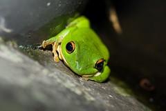 Green Frog (Steven Wong (ATKR)) Tags: trip vacation green hotel taiwan shangrila frog resort steven wong siew por stryker wsp strykerwsp atkr