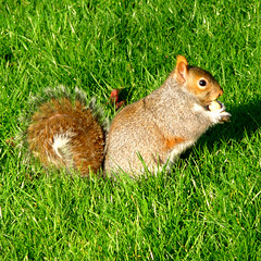 picture perfect (gorgeoux) Tags: park uk brown green london grass sunshine golden holding squirrel eating sunny peanut squared regents