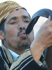 Yes, that's a cobra (ccarlstead) Tags: cobra snake morocco marrakesh charmer djemma elfna