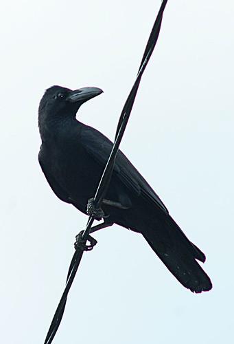 Gagak Paruh Besar @ Large-billed Crow