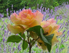 15906 - Wonderful rose in my garden ..       (Rolye) Tags: france beautiful photo yahoo google view image photos picture lavender samsung blumen www images views com msn 1001nights incredible lavande baidu tw ops  iekler lehavre            nv7   attnet rolye