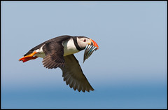 Puffin Midflight (charminbayurr) Tags: blue england food fish bird newcastle islands flying wings sand horizon beak sharp northumberland puffin colourful farne eels midflight bigmomma challengeyouwinner 1diii yourockunanimous