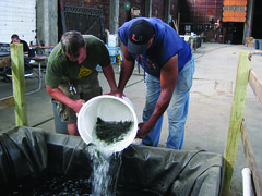 Sweet Water's Fraundorf and Growing Power's Allen add small yellow perch to a fish raceway. ~photo Casey Twanow