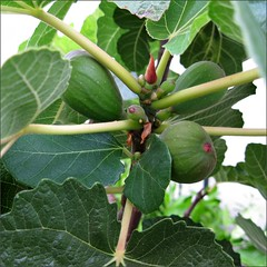 Figs in process