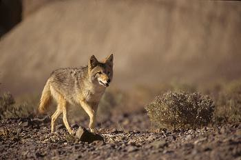 Coyote Stalking Food
