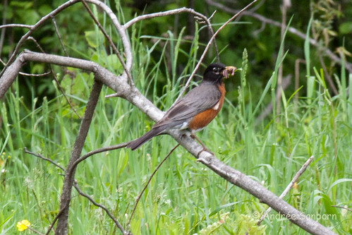 Robin and Worms-6.jpg