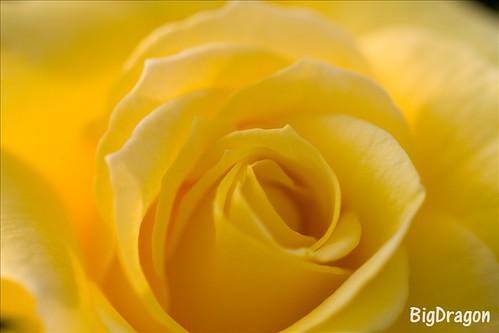 黄色の薔薇がぐるぐるぐるぅ!